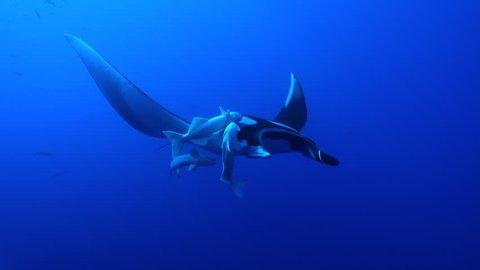 White remoras squabbling on the back of a giant manta ray - Socorro.