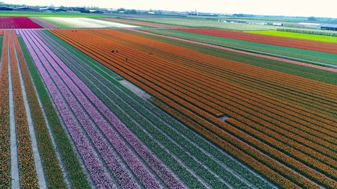 field of orange tulips in Holland
