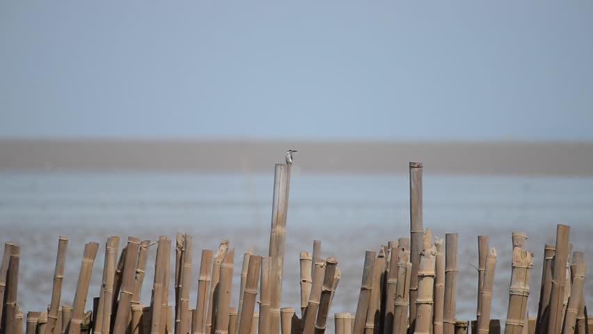 Collared kingfisher, White-collared kingfisher or Mangrove kingfisher