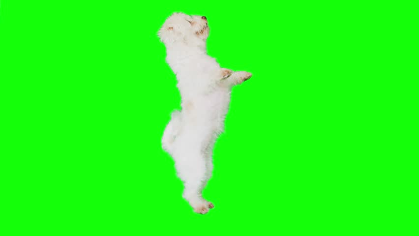 Slow Motion green screen shoot of a white small dog that enters frame dances and sits down.
