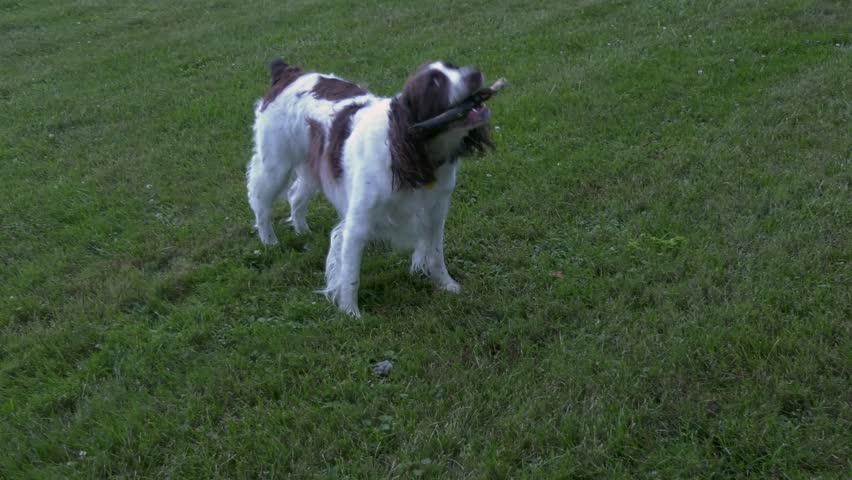 A Springer Spaniel playing with a small stick.