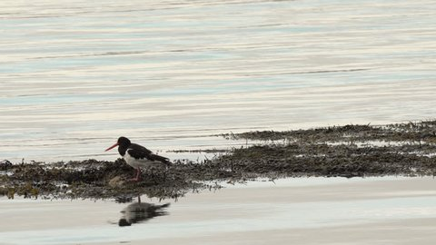 An oystercatcher at evening in a lake