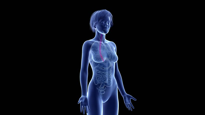 medically accurate 3d animation of the esophagus