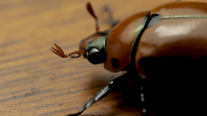 Insect Close up Beetle Head Stock Footage Video (100% Royalty-free)  1014175583 | Shutterstock