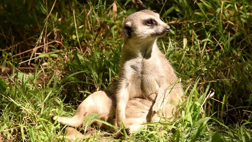 HD video of one meerkat sitting in tall green grass looking around. In captivity, meerkats have an average life span of 12–14 years, and about half this in the wild.