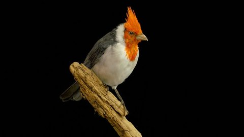 Rotating taxidermied red-crested cardinal (Paroaria coronata) against a black background. Can be played in a loop with 30 frames overlap.