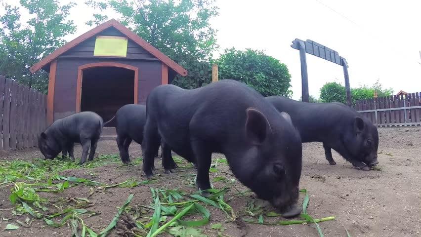 Black Vietnamese pigs on the farm eat grass