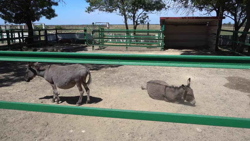 Kherson region, Ukraine - 3d of June 2018: 4K Tour to the Askania-Nova reserve - Pregnant donkey and its spouse bathing in the dust