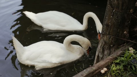 Men's hand feeds two white swans with green grass. White swans are swimming and eating.