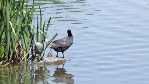 Common Coot, female wild coot on a lake with her baby. Fulica atra. Shot in summer on a sunny day.