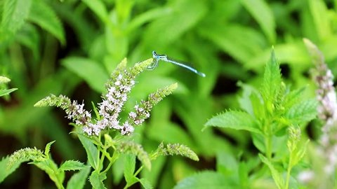 beautiful summer flowers of peppermint on the garden lawn and blue dragonfly
