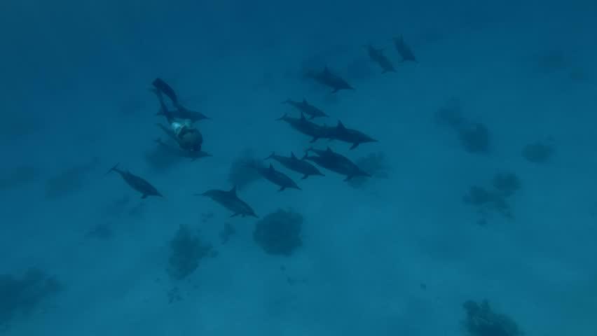 Freediver swim in a pod of Spinner Dolphins swims over the sandy bottom (High-angle shot, Underwater shot, 4K / 60fps)