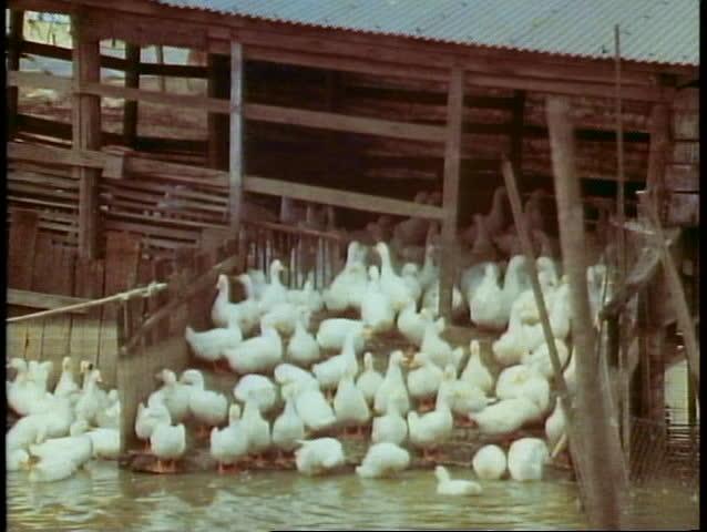 HONG KONG, CHINA, 1982, The New Territories, duck farm, raising Peking Ducks