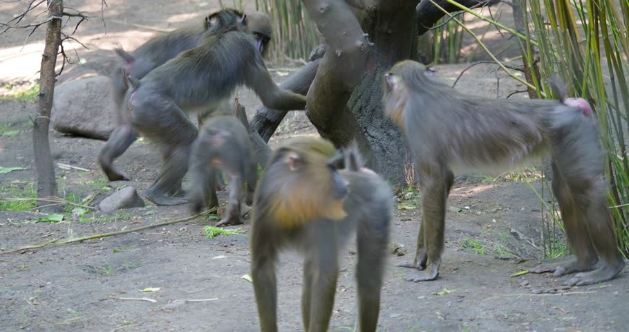 Young cute (Mandrillus sphinx) Mandrills playing funny within their horde