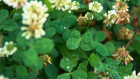Water drops fall on an amazing green four-leaf clover growing on a meadow among white flowers, a symbol of luck.