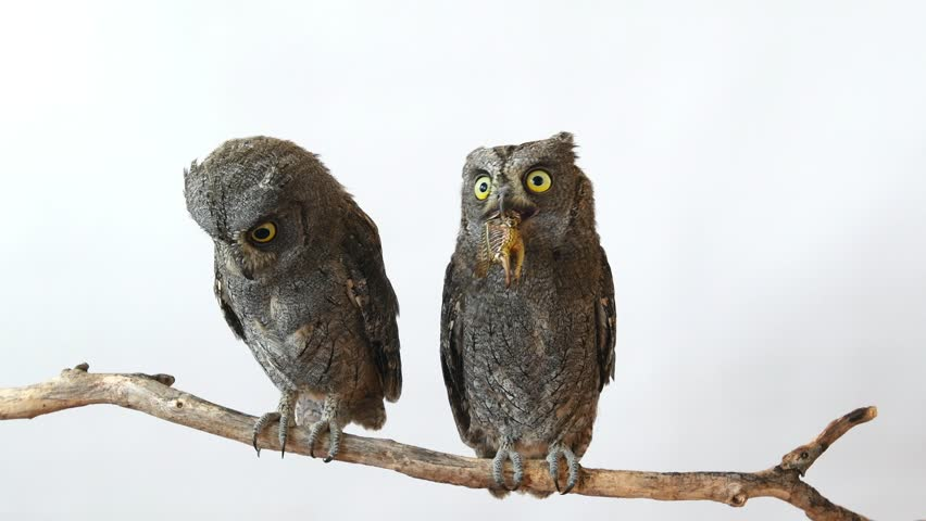 Two European scops owl (Otus scops) sitting on a branch on a white background. One of the birds eats locusts