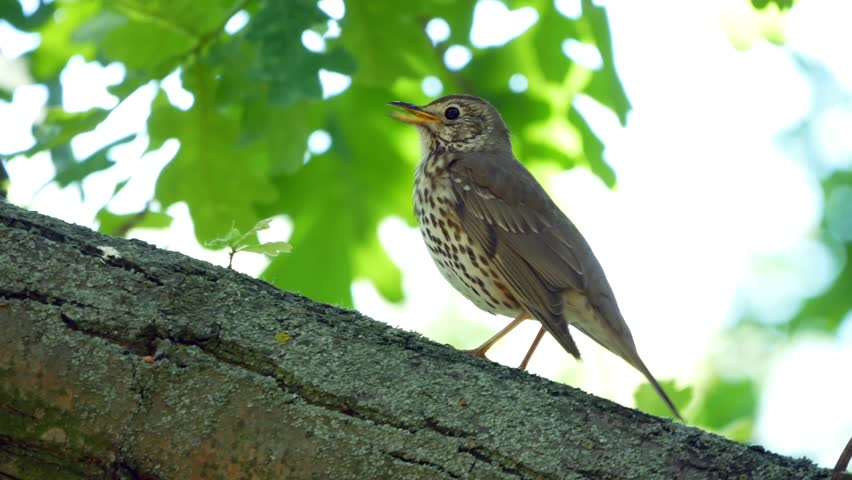 Thrush singing on the tree. Small bird sitting on tree and singing.