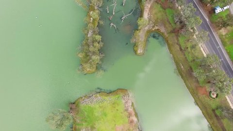 Forward flight looking down at pelicans and bare trees of Murray River in Berri, Australia
