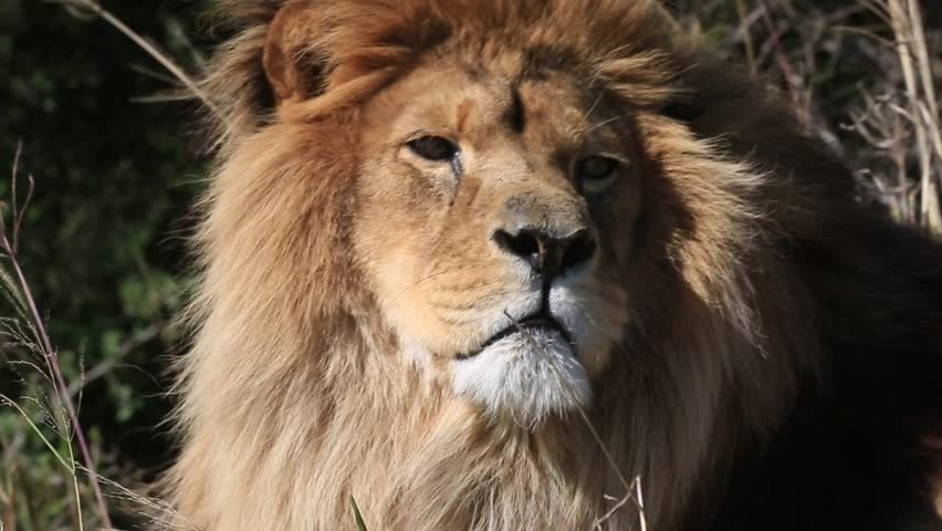 African lion (Panthera leo) portrait in wind, licks nose and yawns, Africa #1014750533