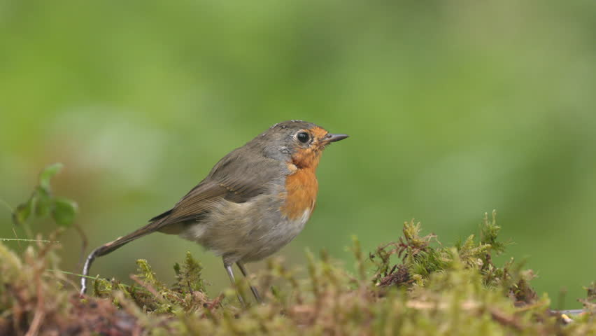 European robin bird animal on ground feeding watching facing right close view | Shutterstock HD Video #1014784673