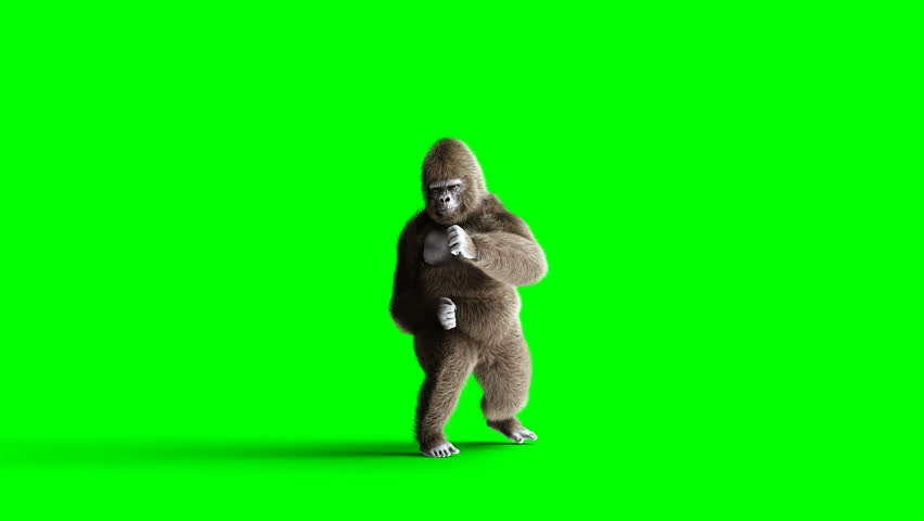 Funny brown gorilla fighting. Super realistic fur and hair. Green screen 4K animation. | Shutterstock HD Video #1014841273