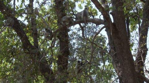 Gray Langur Monkey Several Monkeys Sitting Resting Dry Season Troop Branch in India