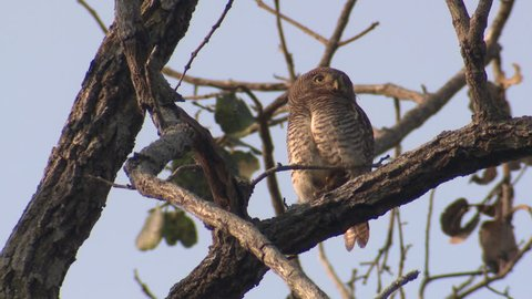 Jungle Owlet Adult Lone Resting in Spring in India