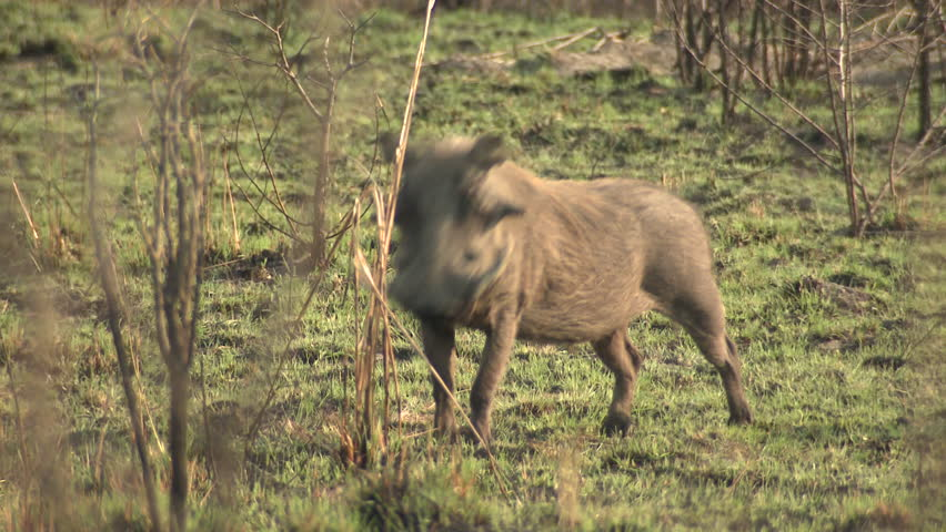Warthog Adult Alarmed Nervous Wary Dry Season Fleeing Running in South Africa