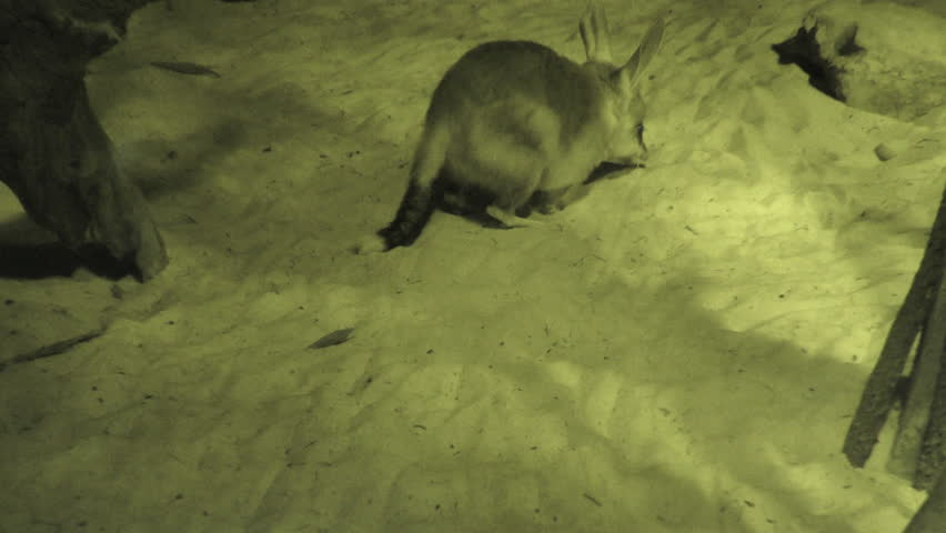 Greater Bilby Adult Lone Walking