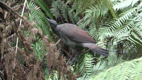 Superb Lyrebird Adult Lone Perched Resting