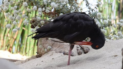 HD video of one black oystercatcher preening, stretches then tucks beak into feathers ready to take a nap.
