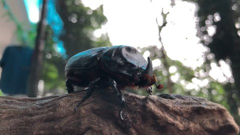Coconut rhinoceros beetle on tree strumps, blur background. Indian rhinoceros beetle,or Asian rhinoceros beetle,or Oryctes rhinoceros.It is a very dangerous insect pest of palm and coconut.