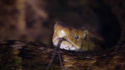 Slow motion of a venomous Fer de Lance (Bothrops atrox) viper protruding its tongue. In the Ecuadorian Amazon.