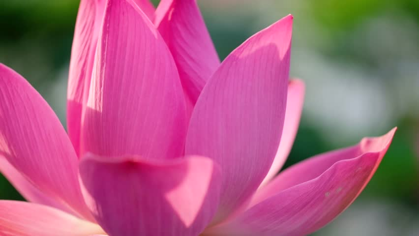 Fresh pink lotus flower. Close focus of a beautiful pink lotus flower with copy space for text or advertising. The background is the pink lotus flowers and yellow lotus bud in a pond