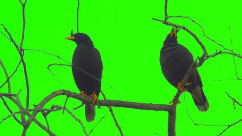 "Acridotheres bird catch on tree on green screen, two beautiful birds on branch leafless background. It wild animal on forest. It is acridotheres is a genus of starlings, the ""typical"" mynas."