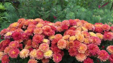 many brown red pink chrysanthemums on a background of various green plants, pine moss, the wind rustles the plants, the time on the bed