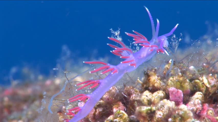 flabellina underwater nudibranch
