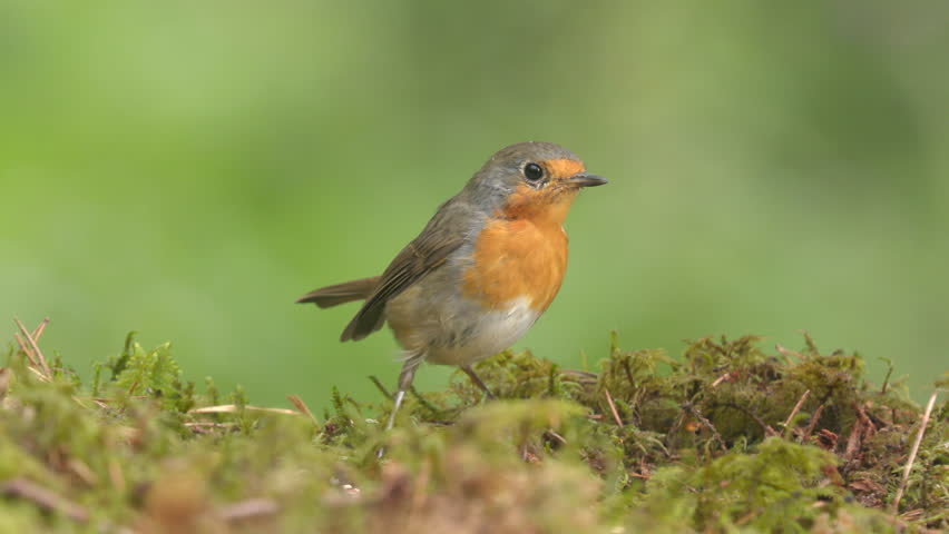 European robin bird animal on ground feeding being scared fly away beautiful green background | Shutterstock HD Video #1014941023