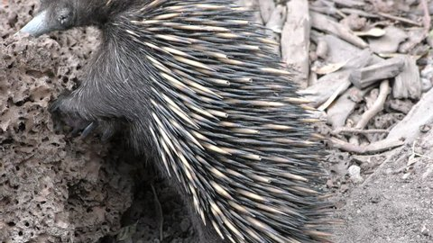 Short-beaked Echidna Adult Lone Eating Quills Defense