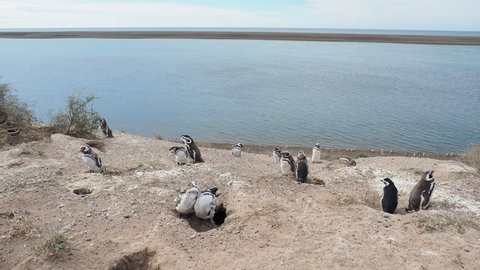 Magellanic penguins (Spheniscus magellanicus) in Caleta Valdes, Valdes Peninsula, UNESCO World Heritage Site, Chubut Province, Patagonia, Argentina
