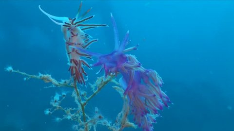 two nudibranch together underwater mating