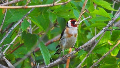 European Goldfinch jumps on a tree branch in the forest