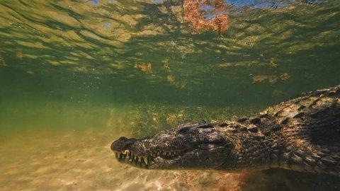 Saltwater Crocodile Closeup Underwater Extreme shot