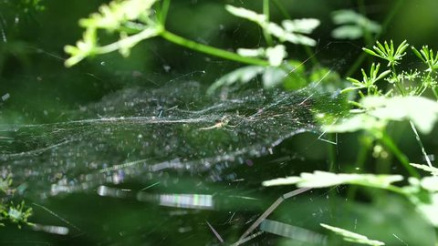 Spiderweb with a spider waiting. Verdun forest, Lorraine, France.