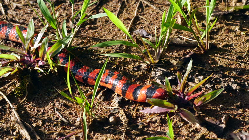 Coral Pipesnake (Anilius scytale). A rare non-venomous snake from the Amazon. The red and black bands resemble the colouration of  venomous coral snakes, giving it protection from predators.