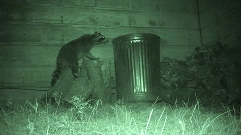 Raccoon Female Adult Lone Foraging in Summer Garbage Can Nuisance in South Dakota