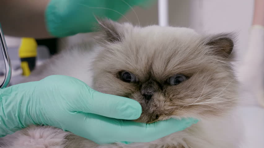 Close-up shot of persian cat is at the appointment of a veterinarian in a veterinary clinic. 4K | Shutterstock HD Video #1015050673