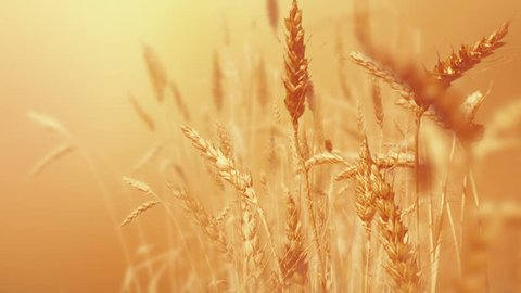 Wheat Field close up.  Golden wheat field isolated,  Nature landscape Health Concept. Peaceful scene. Wheat with alpha matte mask