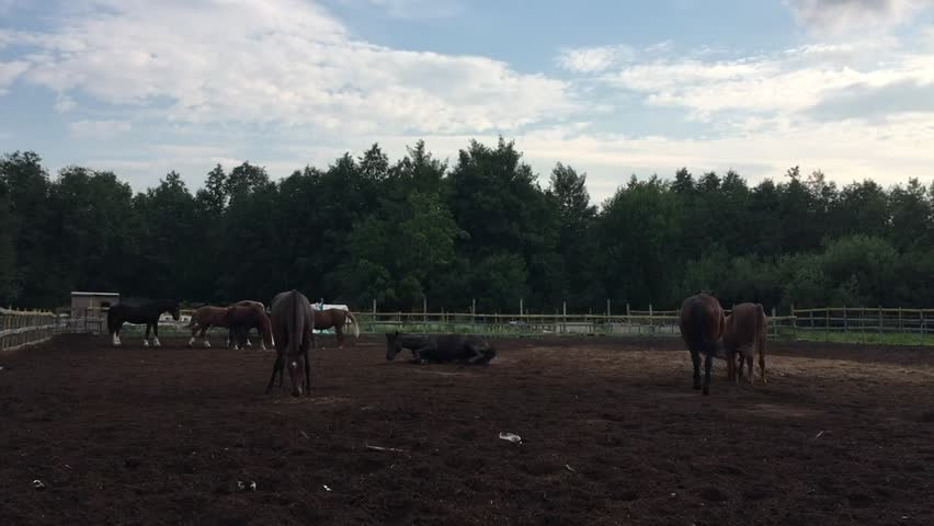 Elegant horses on a fenced field for walks, evening out, socializing, tumbling, turning over on his back   Shutterstock HD Video #1015074193