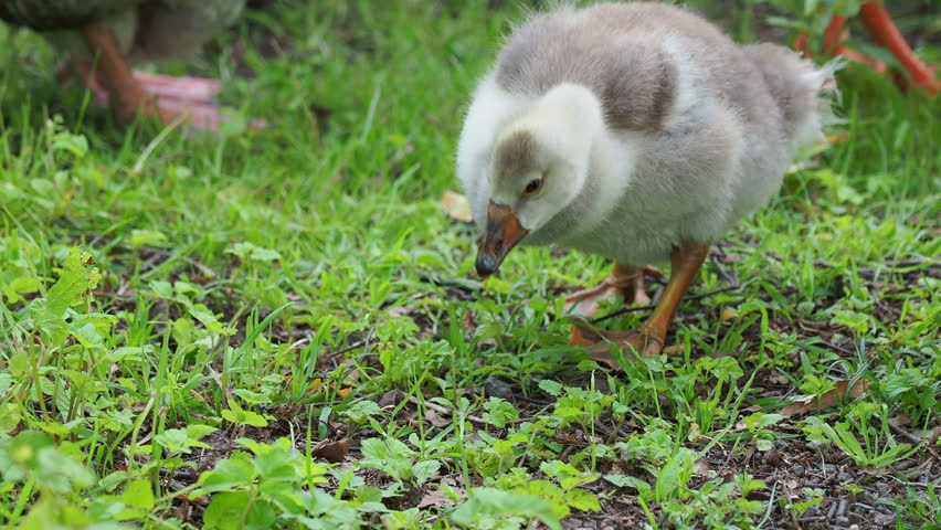 Flock of geese and small fluffy gosling are searching for food in green grass. Poultry grazing | Shutterstock HD Video #1015079833